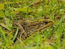 Kikker in het gras Royalty-vrije Stock Afbeeldingen