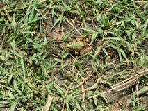 Kikker in het gras Royalty-vrije Stock Foto's