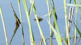 Kikker in het meer stock footage