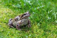 Kikker het stellen op een groen mos Stock Foto