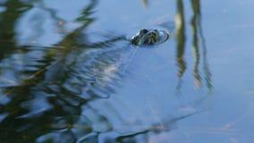 Kikker in het water stock videobeelden