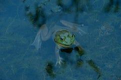 Kikker in het water Stock Afbeelding