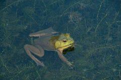 Kikker in het water Stock Foto
