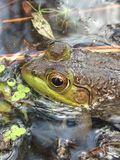 Kikker in het water Royalty-vrije Stock Foto