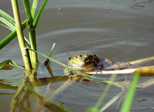 Kikker in het water royalty-vrije stock fotografie