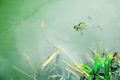 Kikker in het water die - op water op de oppervlakte rusten stock afbeeldingen