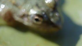 Kikker, Lilly Pad Sluit omhoog kikker op een Lilly-stootkussen macroschot stock videobeelden