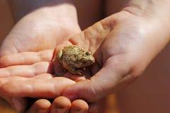 Kikker in menselijke handen Royalty-vrije Stock Foto