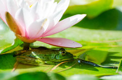 Kikker onder bloemwaterlelie Stock Fotografie