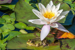 Kikker onder een waterleliebloem royalty-vrije stock afbeelding