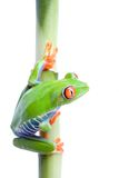 Kikker op bamboe Royalty-vrije Stock Afbeeldingen