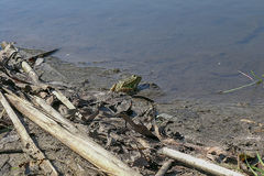 Kikker op de rivierbank Stock Foto's