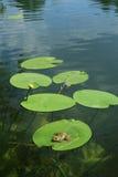 Kikker op de waterlelie Stock Foto