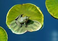 Kikker op een lotusbloemblad Stock Afbeeldingen