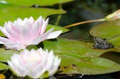 Kikker op een lotusbloembloem Stock Afbeeldingen