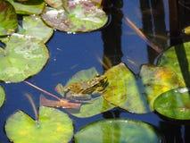 Kikker op Lotus-bladeren stock afbeeldingen