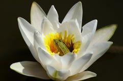 Kikker op waterleliebloem Stock Foto