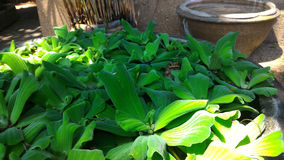 Kikker op waterplantkruik die wordt verborgen Royalty-vrije Stock Afbeelding