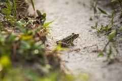Kikker in regenweg stock afbeelding