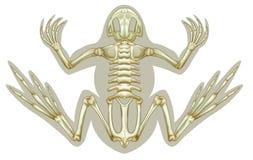 Kikker skeletachtig systeem Stock Afbeeldingen