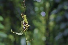 Kikker, twee kikker, dieren, Stock Foto's