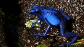 Kikker van het het Vergiftpijltje van Azureusdendrobates Tinctotius de Blauwe stock videobeelden