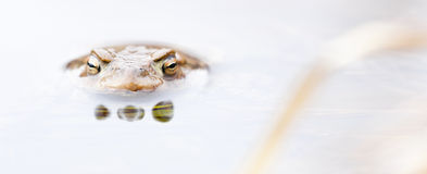 Kikker in water Royalty-vrije Stock Afbeeldingen