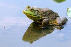 Kikker in Water Stock Foto