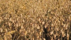 Kikkererwtenveldbonen op de peul stock videobeelden