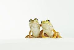 kikkers Royalty-vrije Stock Afbeeldingen