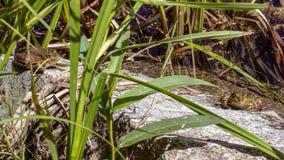 Kikkers die op een steen in een vijver zonnebaden royalty-vrije stock foto's