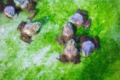 Kikkers in een bijlage op een landbouwbedrijf Royalty-vrije Stock Foto's