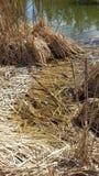 Kikkers en droog riet Stock Fotografie