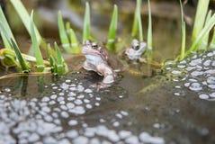 Kikkers en Frogspawn stock foto's