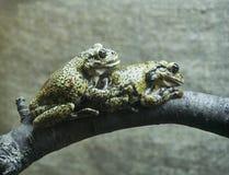 Kikkers op een tak royalty-vrije stock foto