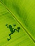 Kikkerschaduw op het banaanblad achtergrondtextuur van banaanweiland Stock Fotografie