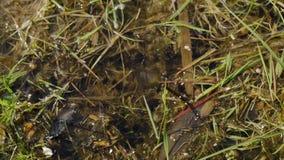 Kikkervisjes in de vijver stock videobeelden