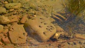 Kikkervisjes in duidelijk water stock video