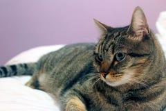 Kiko. A fat cat Royalty Free Stock Photo