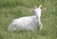 Kiko Goat Stock Photo
