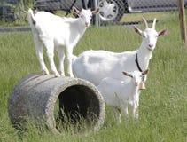 Kiko Goats Royalty Free Stock Photo
