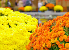 A Kiku and Japanese Chrysanthemum Flower Show Stock Photos