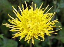 A Kiku and Japanese Chrysanthemum Flower Show Royalty Free Stock Photography