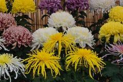 Kiku kwiat, japończyk Kwitnął chryzantemę Zdjęcie Royalty Free