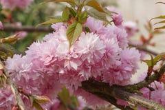 Kiku-shidare-zakura, serrulata del Prunus fotografía de archivo