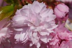 Kiku-shidare-zakura, serrulata del Prunus imagen de archivo libre de regalías