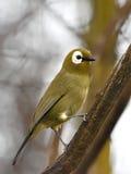 Kikuyu white-eye (Zosterops kikuyuensis) Royalty Free Stock Image