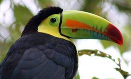 Kil wystawiał rachunek kolorowego pięknego pieprzojada w Costa Rica wspaniałym tucan tucano Obrazy Royalty Free