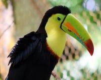 Kil wystawiał rachunek kolorowego pięknego pieprzojada w Costa Rica wspaniałym tucan tucano Fotografia Royalty Free