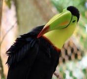 Kil wystawiał rachunek kolorowego pięknego pieprzojada w Costa Rica wspaniałym tucan tucano Obrazy Stock